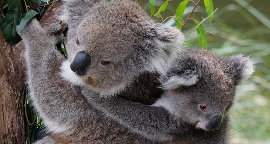 весной картинка коала с лисой необходимости выровняйте рукав