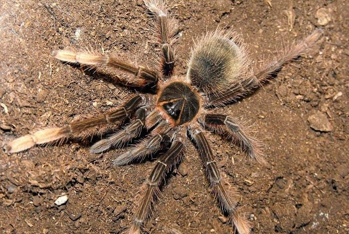 паук Pinkfoot Goliath