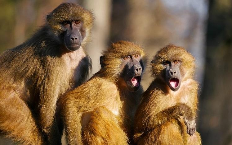 обезьяны бабуины
