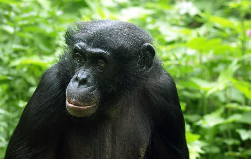 Качественный геном бонобо улучшает анализ эволюции гоминидов