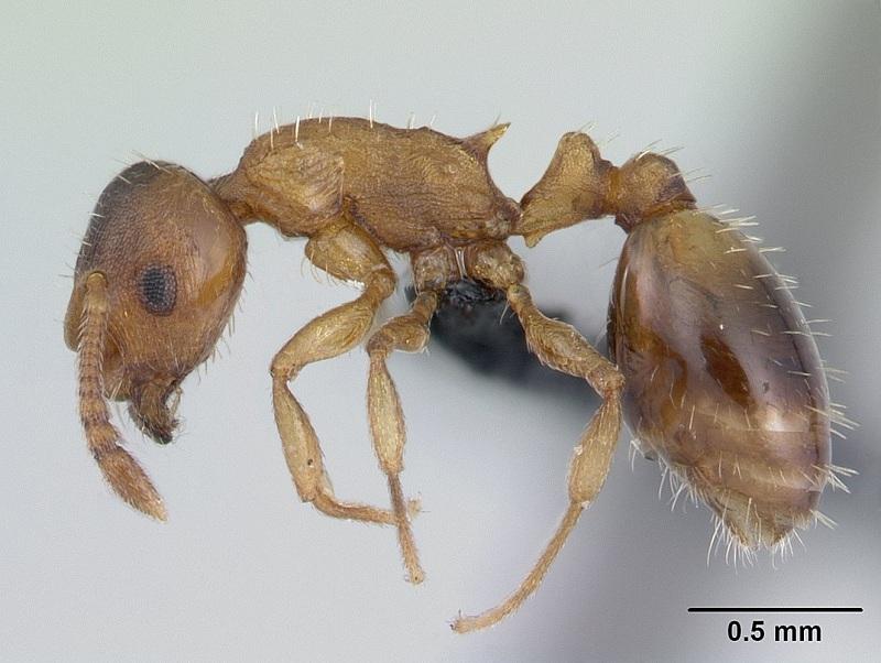 муравьи и паразиты