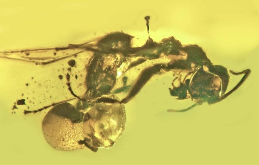 паразиты муравьев