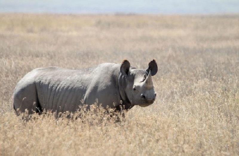 Западноафриканский черный носорог