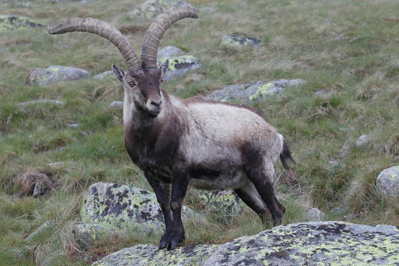 Пиренейский козерог (или пиренейский козел)