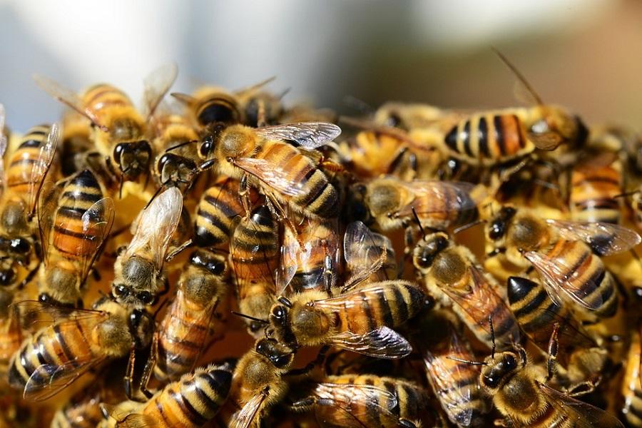 Партеногенез у пчел