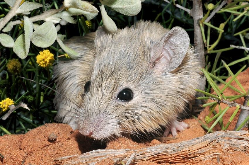мышь Гульда