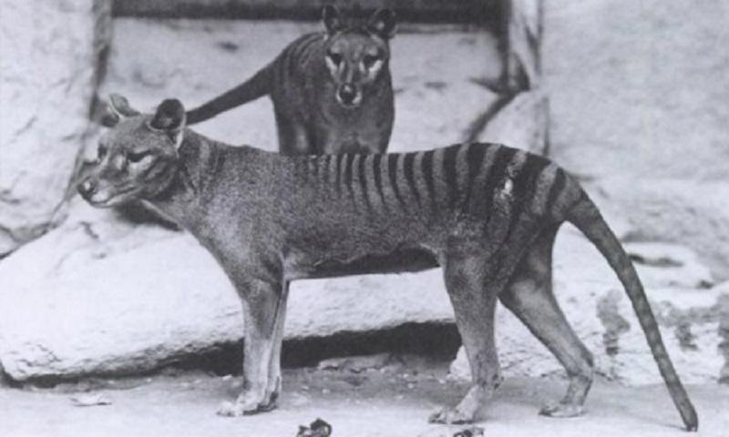 Тасманийский тигр