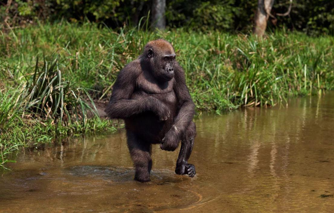 африканские обезьяны