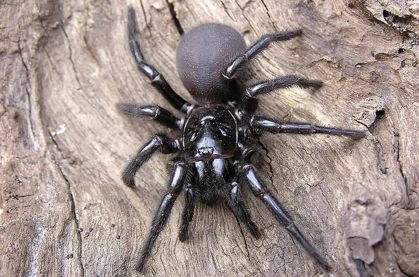 Сиднейский Воронковый паук