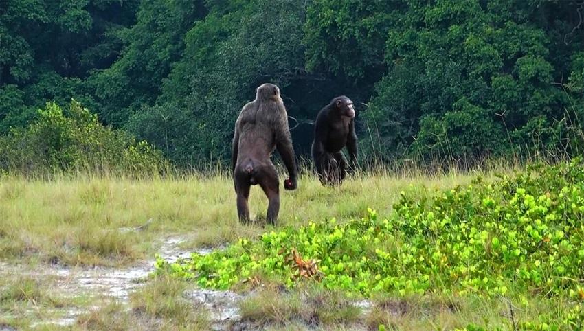 Два взрослых самца шимпанзе