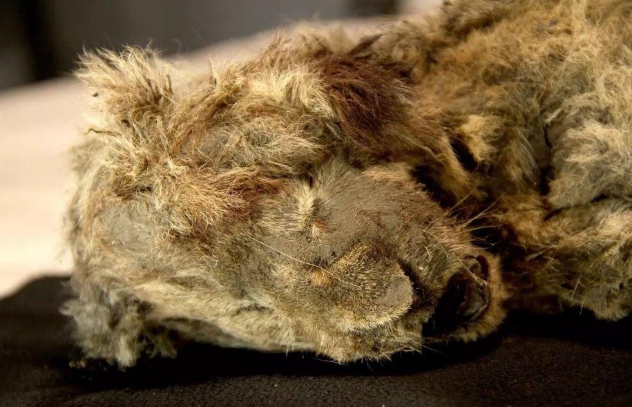 Спарта, пещерный львенок возрастом около 28000 лет.