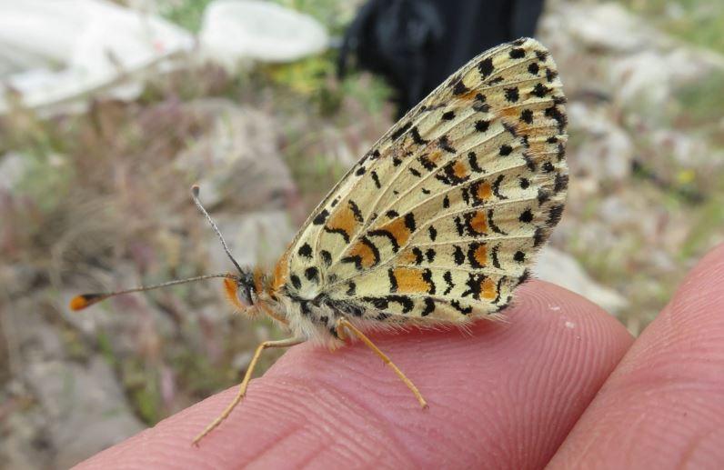Бабочка Melitaea acentria