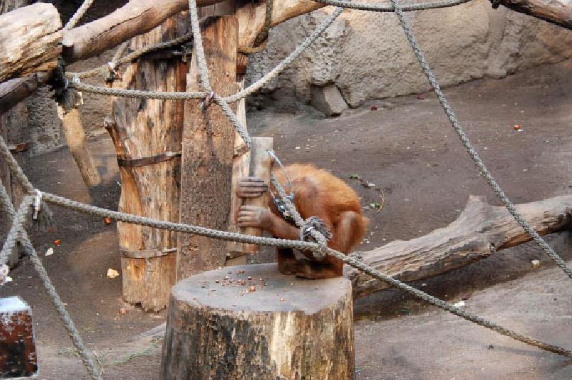Орангутаны используют молотковые инструменты для раскалывания орехов