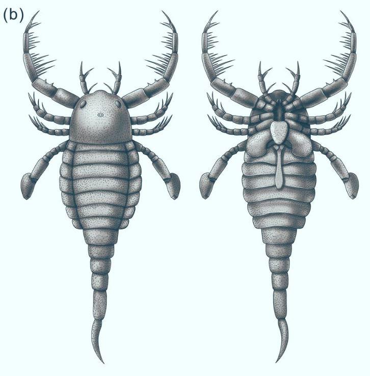 Реконструкция морского скорпиона Terropterus xiushanensis, дорсальный и вентральный виды.