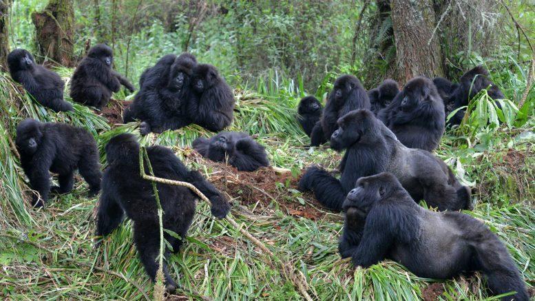 Социальное дистанцирование: как болезни распространяются среди горных горилл