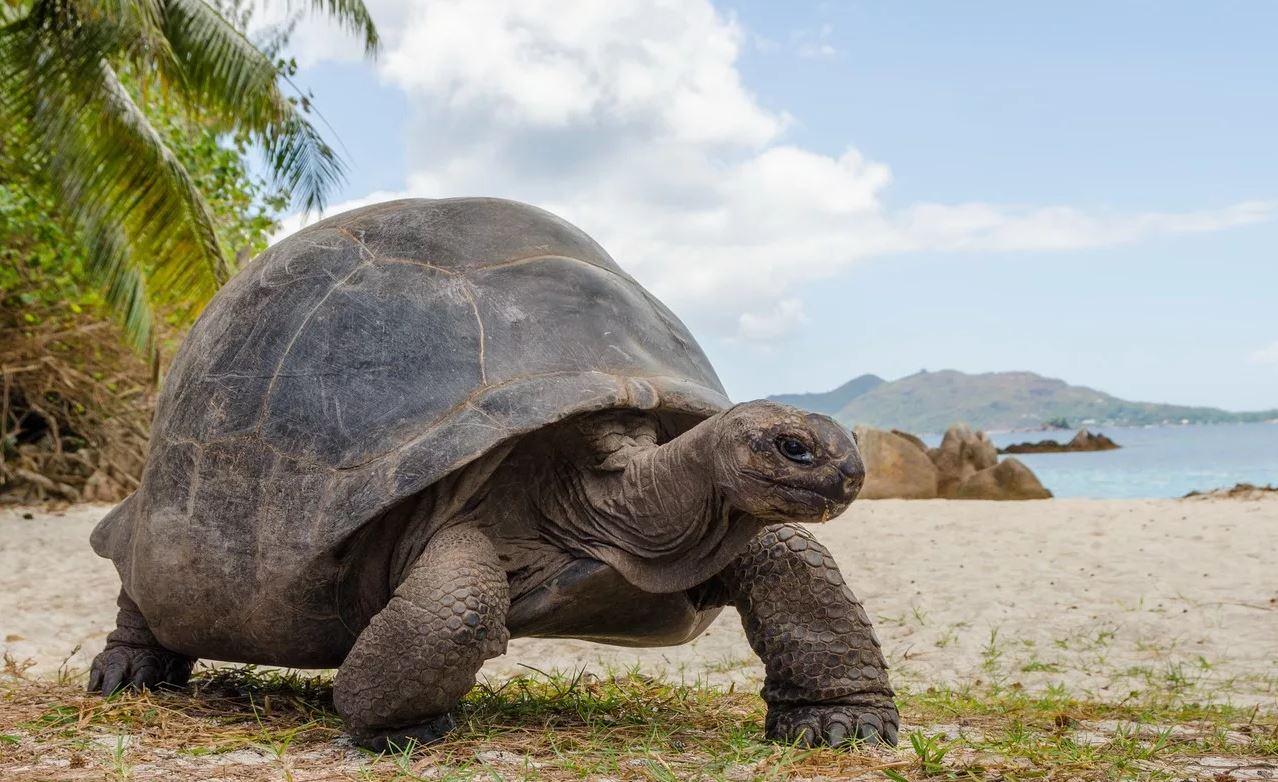 гигантская сейшельская черепаха Aldabrachelys gigantea